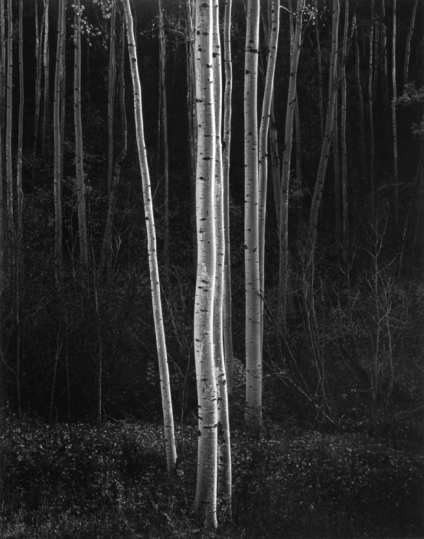 1985-036-003-ansel-adams-aspens-northern-new-mexico